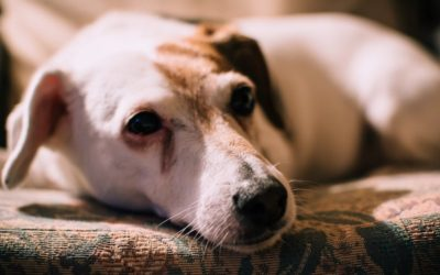 What causes tear stains in dogs and how to treat them