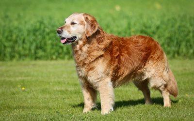 Canine Arthritis: 10 Ways to Make Your Senior Pet More Comfortable