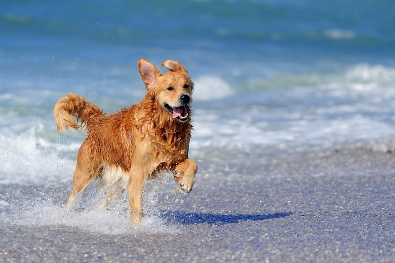 Active Breeds - Golden Retriever - Mark + Chappell