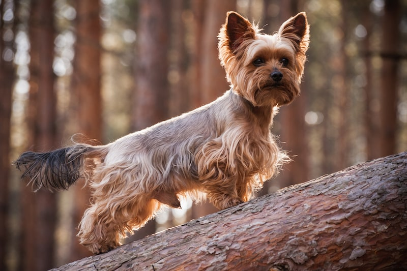 Less Active Breeds - Yorkshire Terrier - Mark + Chappell