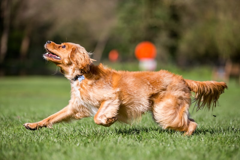 Moderately Active Breeds - Cocker Spaniel - Mark + Chappell