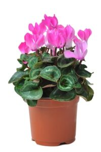 Cyclamen – What plants are poisonous to dogs – Mark and Chappell