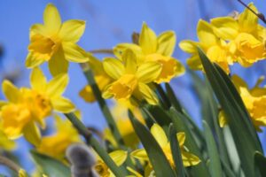 Daffodils – What plants are poisonous to dogs – Mark and Chappell