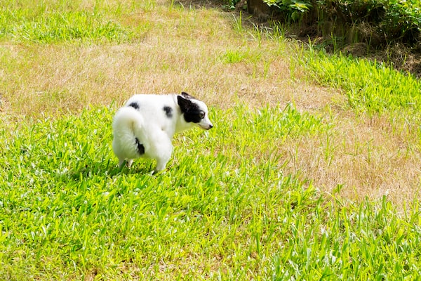 Female Dog Peeing On The Lawn – Mark and Chappell
