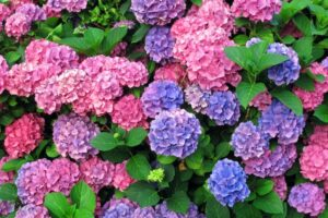 Hydrangeas – What plants are poisonous to dogs – Mark and Chappell
