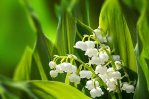 Lily of the Valley – What plants are poisonous to dogs – Mark and Chappell