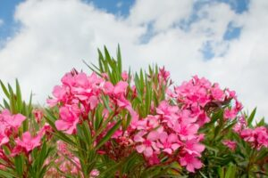 Oleander – What plants are poisonous to dogs – Mark and Chappell
