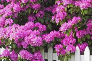 Rhododendron – What plants are poisonous to dogs – Mark and Chappell