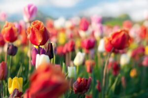 Tulips – What plants are poisonous to dogs – Mark and Chappell