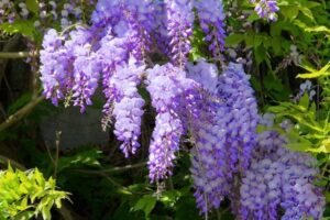 Wisteria – What plants are poisonous to dogs – Mark and Chappell