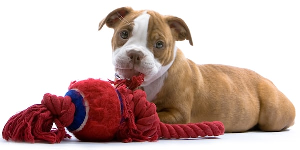 Puppy teething tips - chewy toys - Mark + Chappell